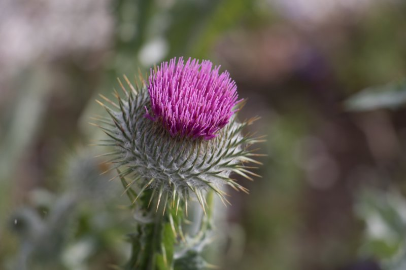 The stunning Scottish thistle is the national flower and emblem of Scotland. Photo Credit: Wendy Nordvik-Carr © View more photos wendynordvikcarr.com