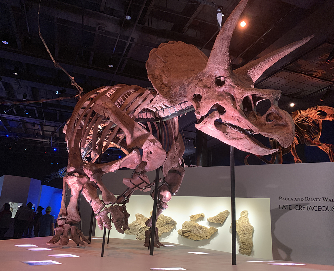 Massive dinosaur exhibit in Houston displays the most complete Triceratops in the world, called Lane. Photo Credit: Wendy Nordvik-Carr©
